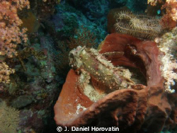Tasseled Scorpionfish by J. Daniel Horovatin 